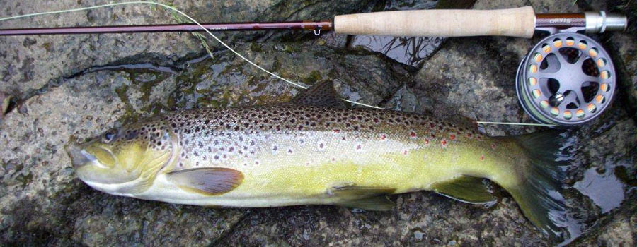 river eden trout